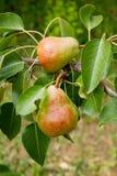 Poires délicieuses brillantes pendant d'une branche d'arbre dans le verger Image libre de droits