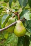 Poires délicieuses brillantes pendant d'une branche d'arbre dans le verger Photo libre de droits