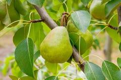 Poires délicieuses brillantes pendant d'une branche d'arbre dans le verger Images stock