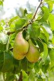 Poires délicieuses brillantes pendant d'une branche d'arbre dans le verger Photographie stock