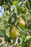 Poires délicieuses brillantes pendant d'une branche d'arbre dans le verger Images libres de droits