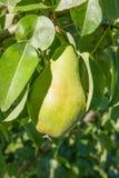 Poires délicieuses brillantes pendant d'une branche d'arbre dans le verger Photos libres de droits