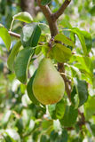 Poires délicieuses brillantes pendant d'une branche d'arbre dans le verger Photos stock