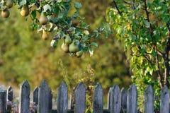 Poires de Bosc sur un arbre Image libre de droits