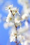 Poires de fleurs Images stock