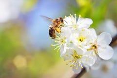 Poires de fleurs Photos libres de droits