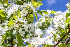 Poires de fleurs blanches sur les branches Photographie stock libre de droits