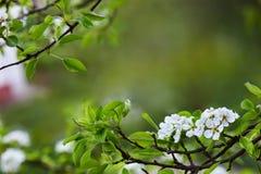 Poires de fleurs photo stock