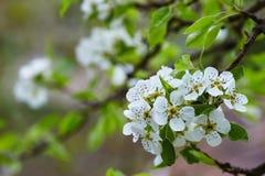 Poires de fleurs photographie stock libre de droits