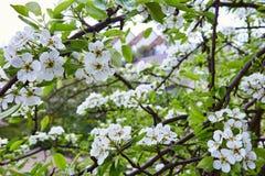 Poires de fleurs images libres de droits