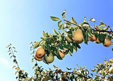 Poires jaunes juteuses sur des branches Photo stock