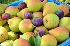 Poires mûres recueillies dans le jardin de fruit Photo libre de droits
