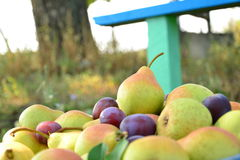 Poires mûres recueillies dans le jardin de fruit Photo stock