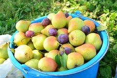 Poires mûres recueillies dans le jardin de fruit Photographie stock libre de droits