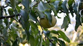 Poires mûres recueillies dans le jardin de fruit banque de vidéos