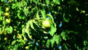 Poires mûres recueillies dans le jardin de fruit clips vidéos