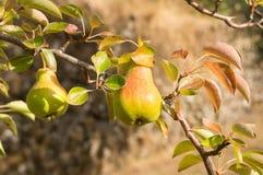 Poires mûrissant sur un arbre Images stock