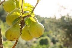 Poires mûrissant sur un arbre Photos libres de droits