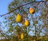 Poires oubliées sur les branches nues Photos stock