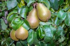 Poires savoureuses mûrissant sur un arbre de fin Images libres de droits