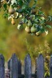 Poires sur un arbre Photographie stock