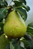 Poires sur une branche d'un arbre Images libres de droits