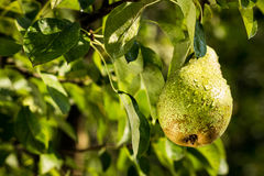 Poires sur une branche, poire verte non mûre, poirier, jeune poire savoureuse h Photos libres de droits