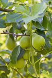 Poires vertes dans un arbre Photo libre de droits
