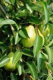 Poires vertes s'élevant sur l'arbre Images stock