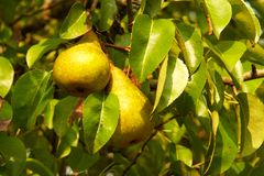 Poires vertes sur un arbre Image stock