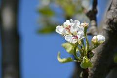 Poirier de floraison Photographie stock libre de droits