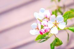 Poirier de floraison avec des fleurs sur le plan rapproché de branches photos libres de droits