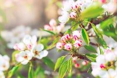Poirier de floraison avec des fleurs sur le plan rapproché de branches image stock