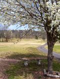Poirier fleurissant au printemps Photographie stock libre de droits