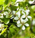 Poirier fleurissant au printemps image libre de droits