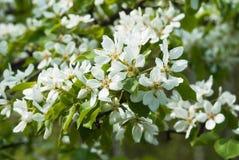 Poirier fleurissant au printemps photos stock