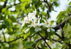 Poirier fleurissant au printemps photo libre de droits