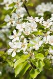Poirier fleurissant au printemps photographie stock
