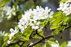 Poirier fleurissant au printemps image stock