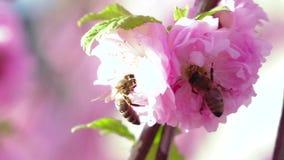 Poirier fleurissant et pollen pris par abeille Fin vers le haut Mouvement lent banque de vidéos
