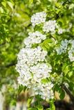 Poirier fleurissant Fleurs blanches et feuilles de vert sur les branches Jardin de fruit au printemps Photographie stock