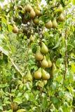 Poiriers chargés avec le fruit dans un verger Image stock