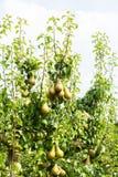 Poiriers chargés avec le fruit dans un verger Photographie stock