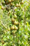 Poiriers chargés avec le fruit dans un verger au soleil Photos libres de droits
