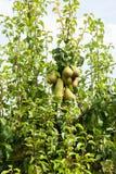 Poiriers chargés avec le fruit dans un verger au soleil Photo libre de droits