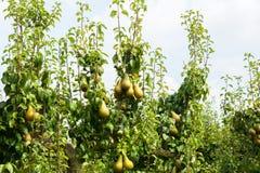 Poiriers chargés avec le fruit dans un verger au soleil Photographie stock