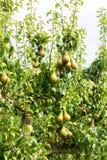 Poiriers chargés avec le fruit dans un verger au soleil Images libres de droits