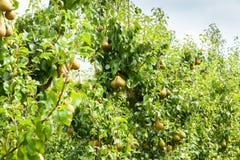 Poiriers chargés avec le fruit dans un verger au soleil Photographie stock libre de droits