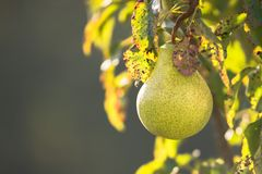 Poiriers pendant de la branche d'arbre au jardin de poire photo stock