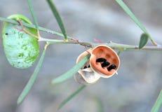 Pois d'acacia dans une cosse de graine Photos libres de droits
